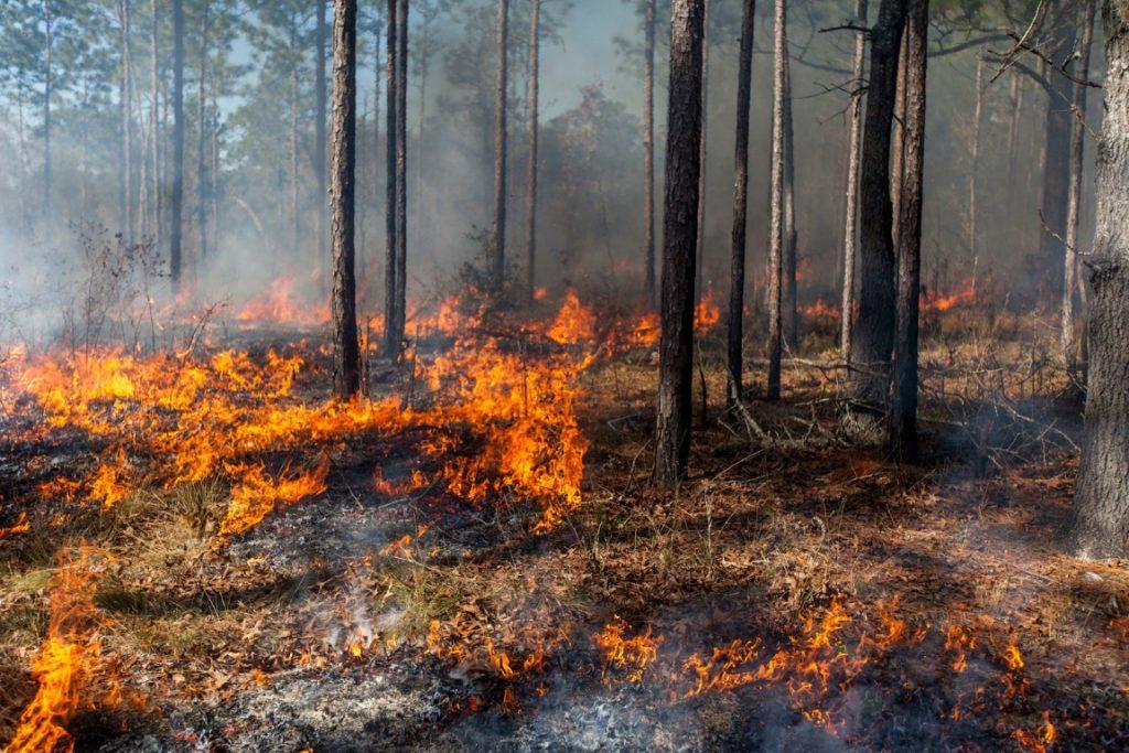 Control burn at Ordway-Swisher Biological Station near Melrose, Florida.